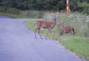 A doe and two fawns along side of a road